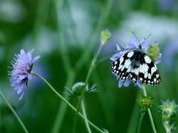Scabieuse et papillon