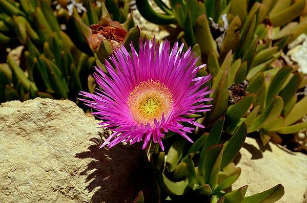 flower-australian-bush-flower-purple-blo