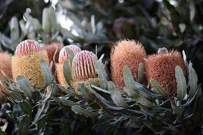 banksia-natives-flowers-australian-bloom