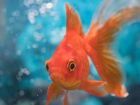 The Goldfish Pitch
