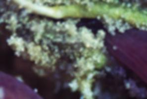 3_ Ceibo_Erythrina crista-galli I_Maryne