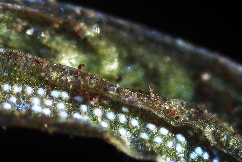 6_ Norfolk Island Pine_Araucaria Heterop