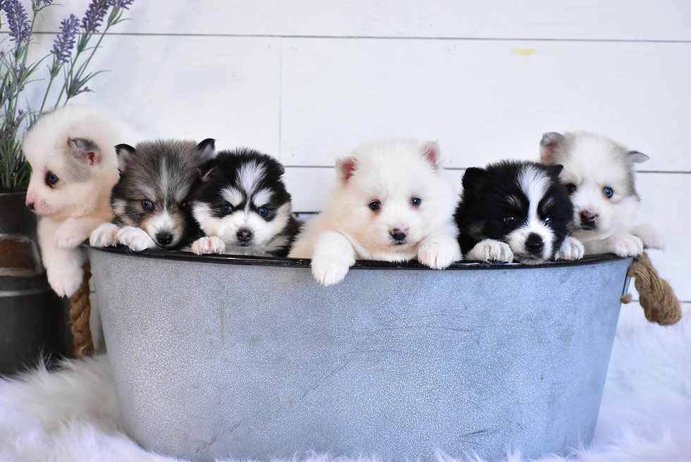 Shadow's Puppies