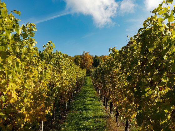 Wine Harvest 2016: high quality in Piedmont, Italy