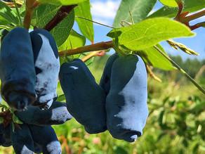 Broken Tine: Is the Haskap Canada's Next Great Berry?
