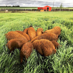 Eh Farms' cute and curly Red Mangalitsa pigs bring a new kind of pork to the table