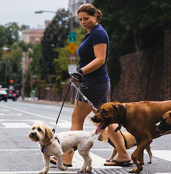 Woof Walk DC owner walking dogs on 16th st NW,Washington DC Dog walking Woof Walk DC