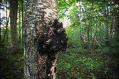 CHAGA TREE.jpg