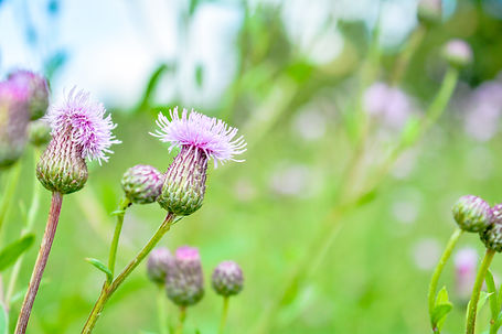 bigstock-Wild-Herb-Of-Thistle-Or-Silybu-