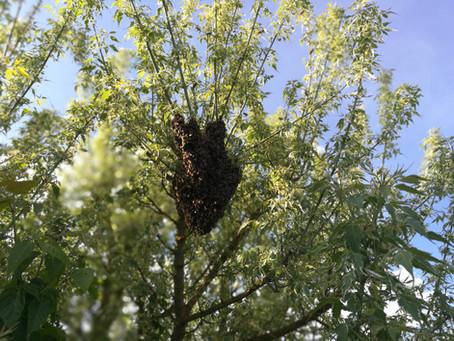 Schwarm fangen - auf die Leiter, Bienen los!