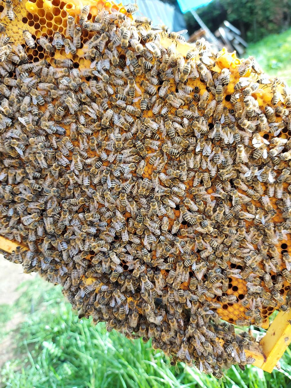 vollbesetzte Bienenwabe eines Imker