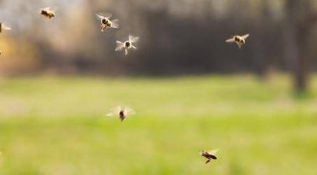 Original Repetaler Bienen
