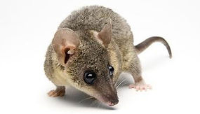 Shop By Pet - Short Tailed Opossum