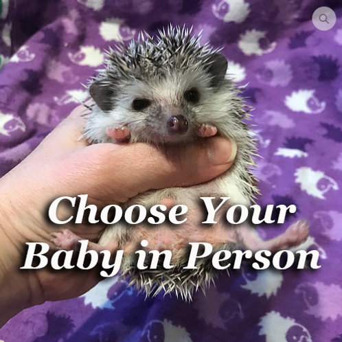 hedgehogs for sale in connecticut, rhode island, ct, ma, ri, new york, ny massachusetts