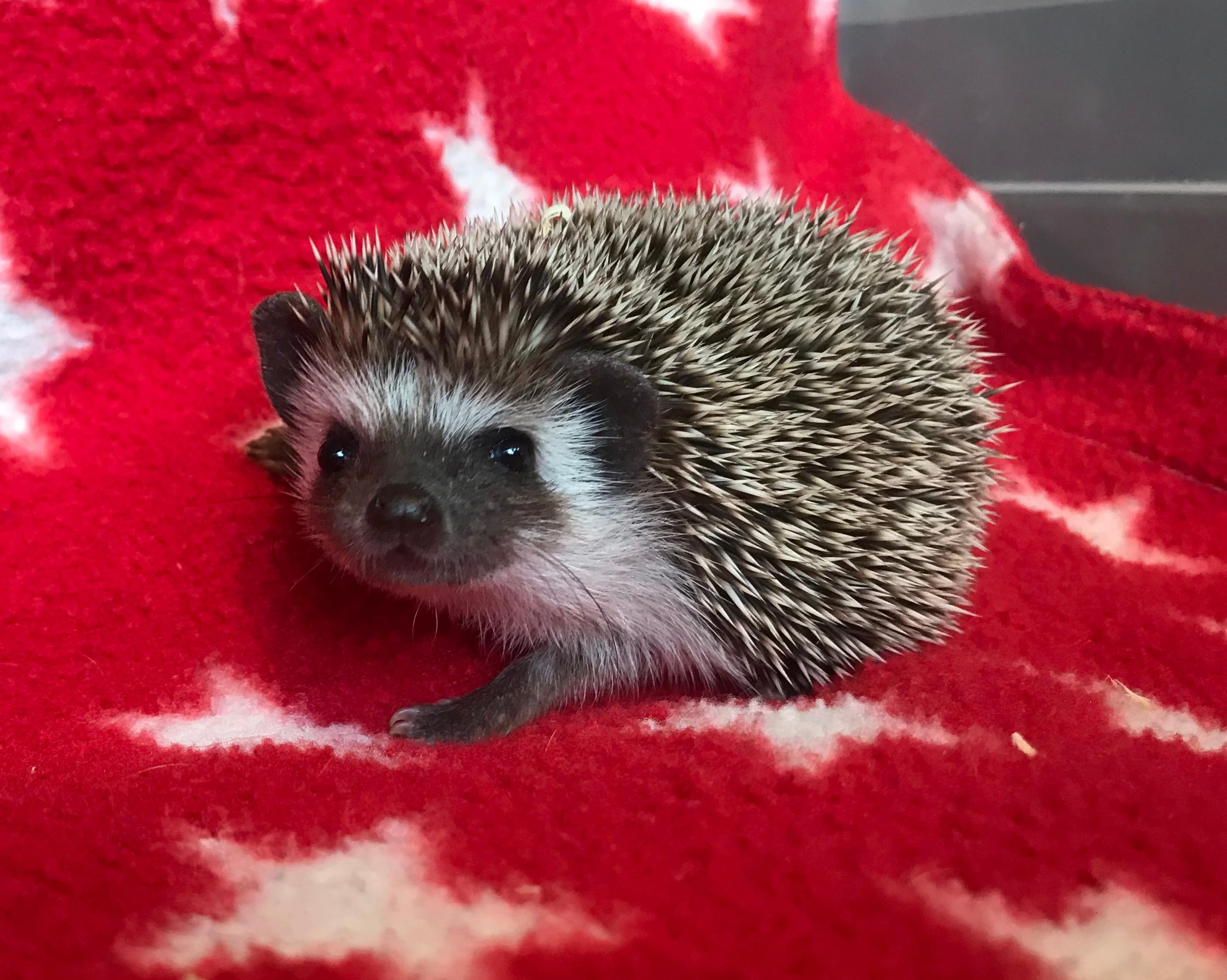 Hedgehog Purchase
