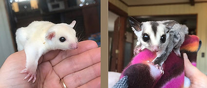 Left: Doodle is leucistic coloring.  Right: Snicker is white face coloring