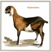Anglonubian
