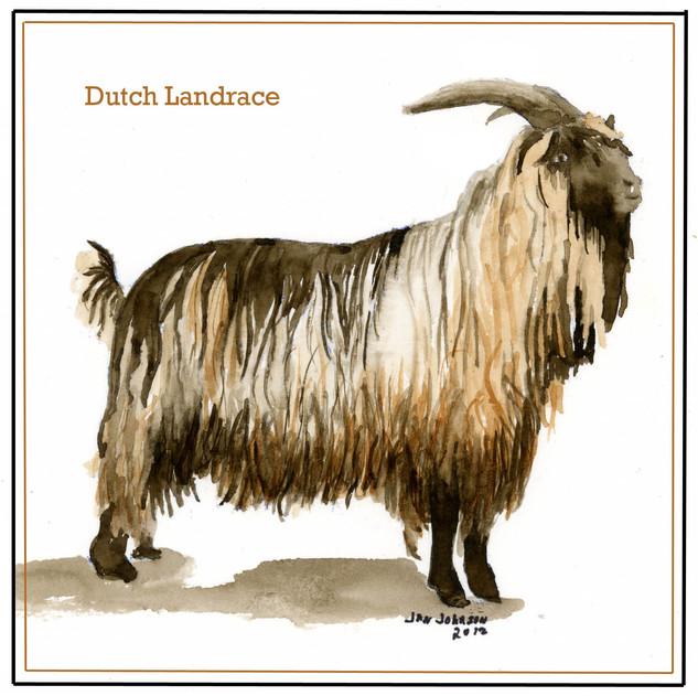 Dutch Landrace