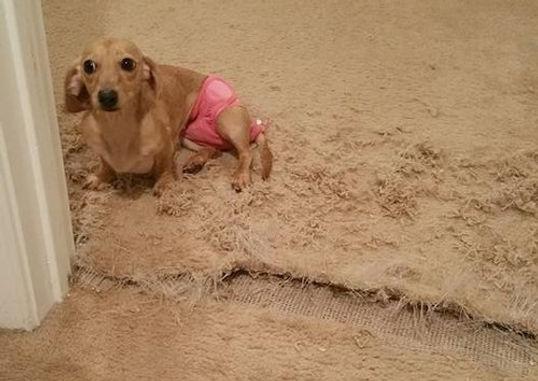 dachshund tore up carpet