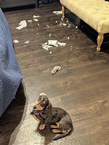 dachshund puppy toilet paper