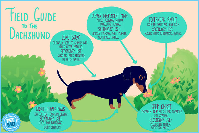 field guide to the dachshund