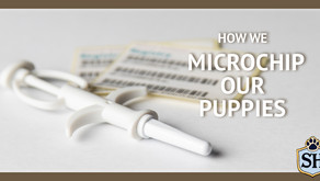 How We Microchip Our Puppies