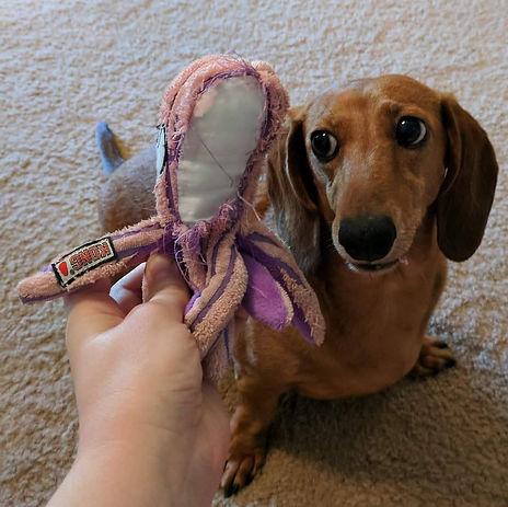 dachshund destroyed toy
