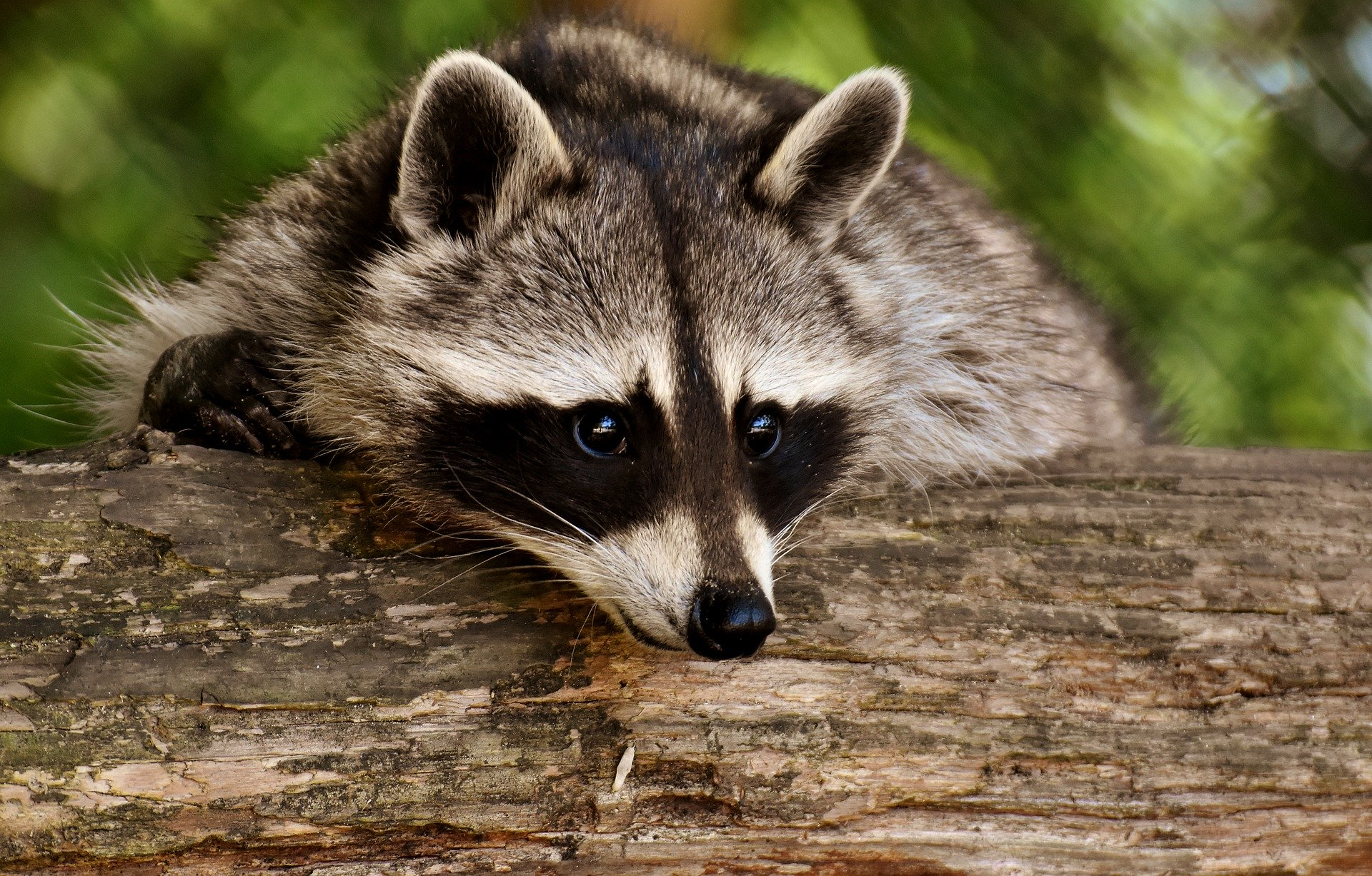 raccoon-3538081_1920
