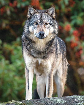 13385625_web1_180905-UWN-Wolves-kill-dog