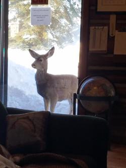 deer in window