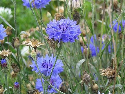 cefalea, fiori