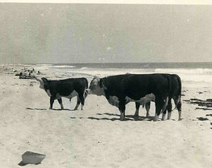 cows_on_beach.jpg