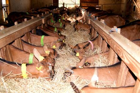 Les chèvres qui mangent