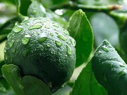 importateur-en-france-de-citron-vert-lime-4