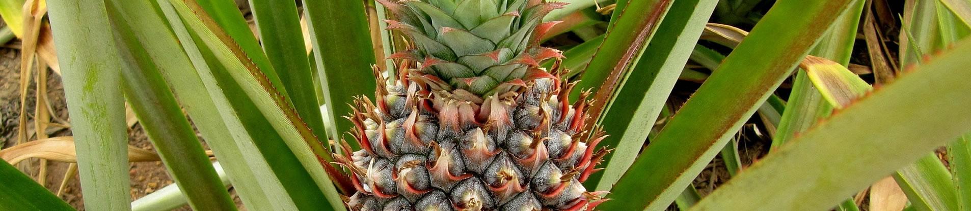 importateur-d-ananas-en-france-1