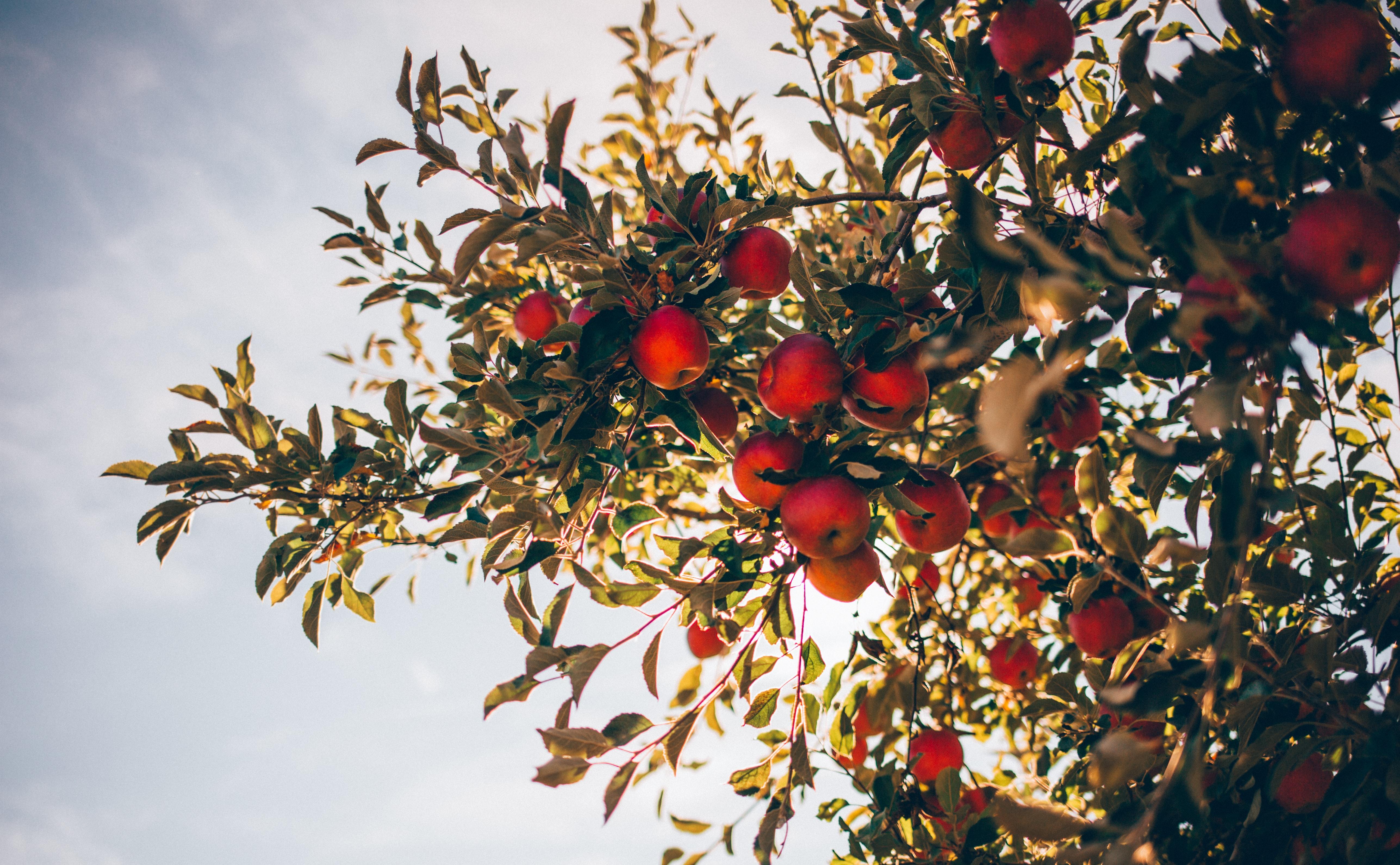 Importateur en France de pommes du Chili, San Rafael