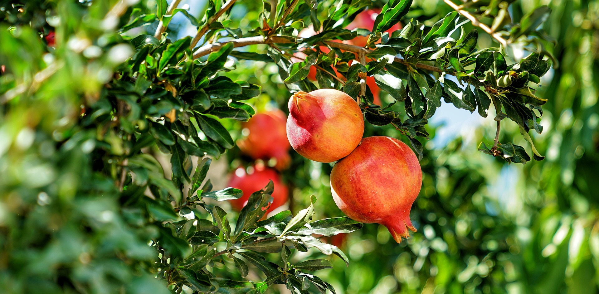 Indigo Total Produce, pomegranate importer and distributor in France
