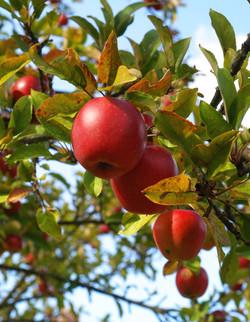 pommes argentine