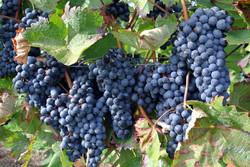 Importateur de raisin d'Inde
