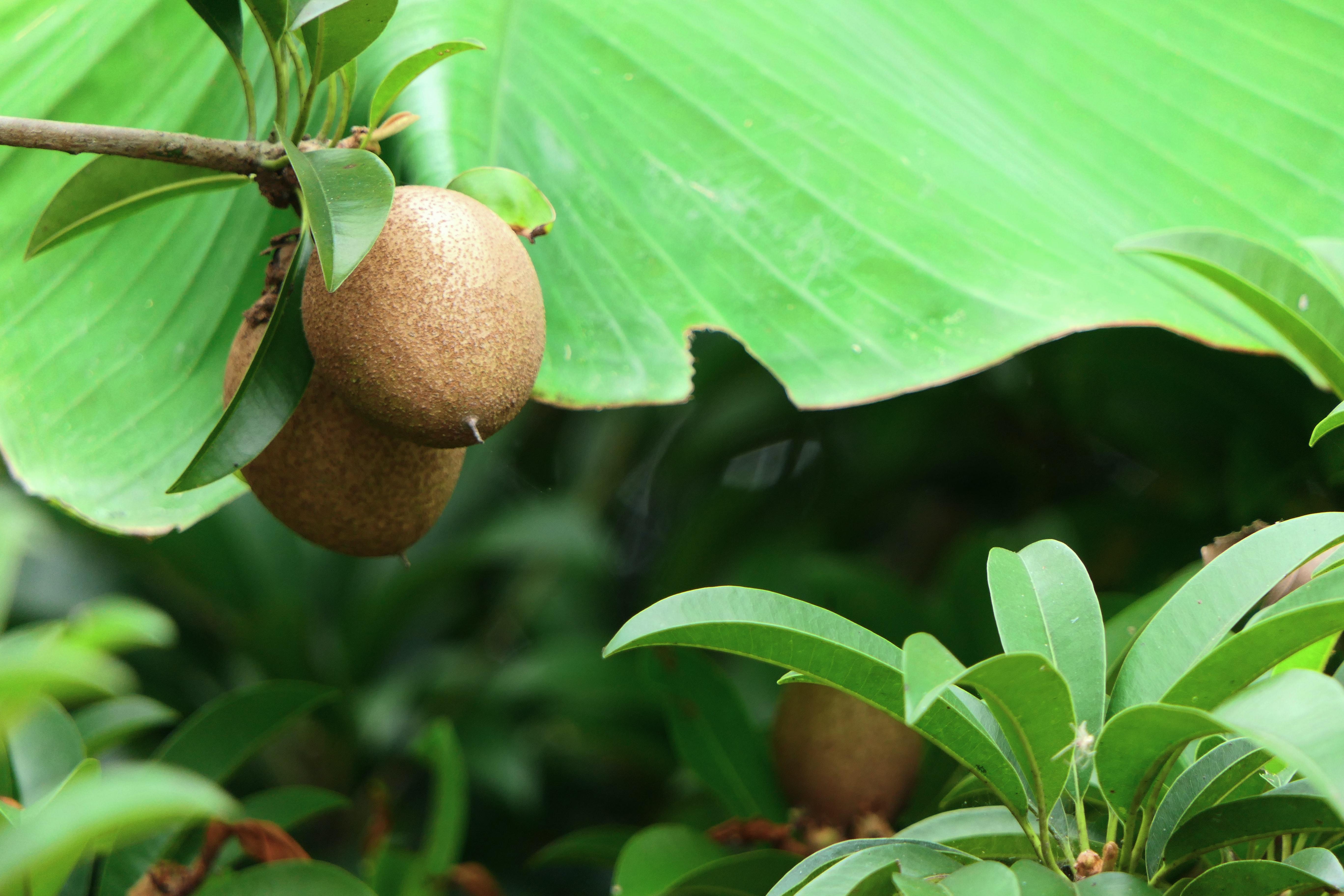 kiwi du Chili Rucaray