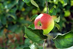 importateur-de-pommes-en-france-4