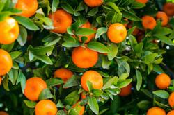 importateur-de-clementines-en-france-3