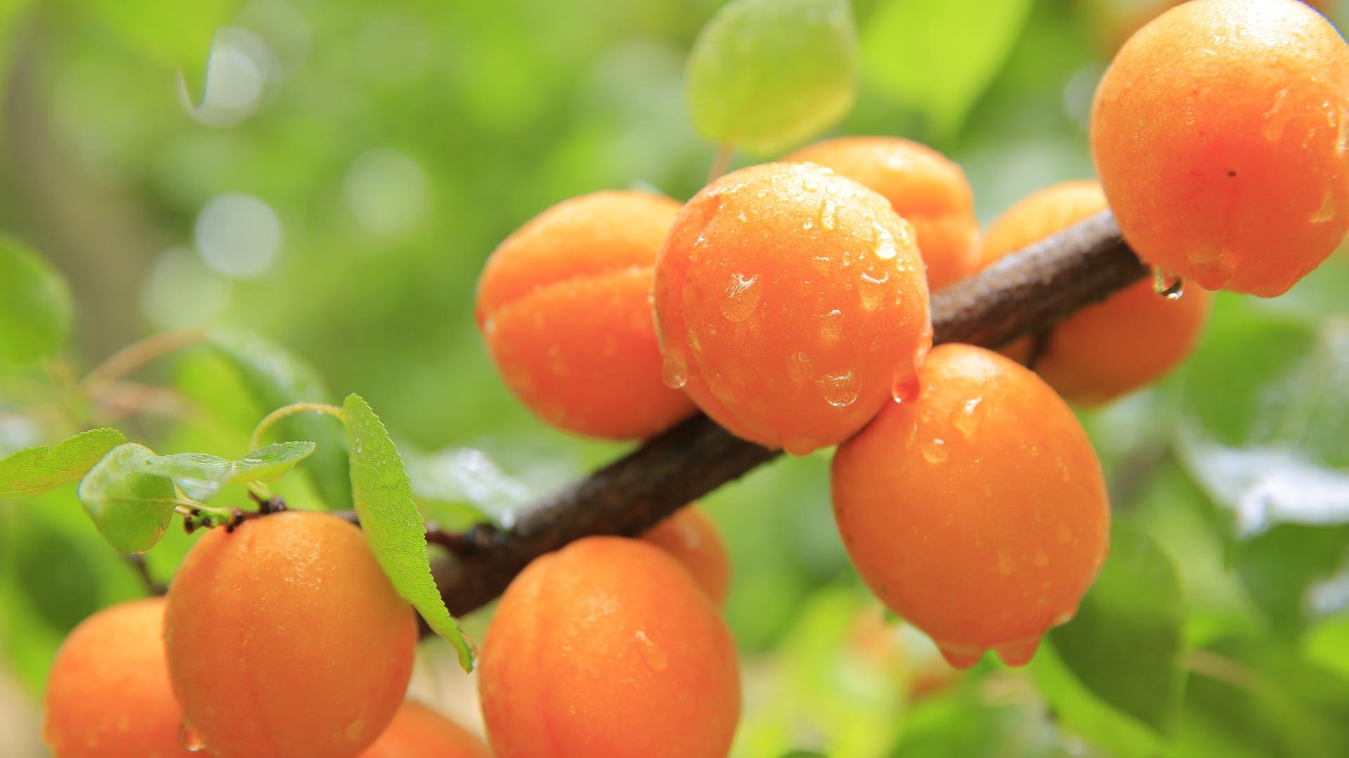 importateur-d-abricots-en-france-5