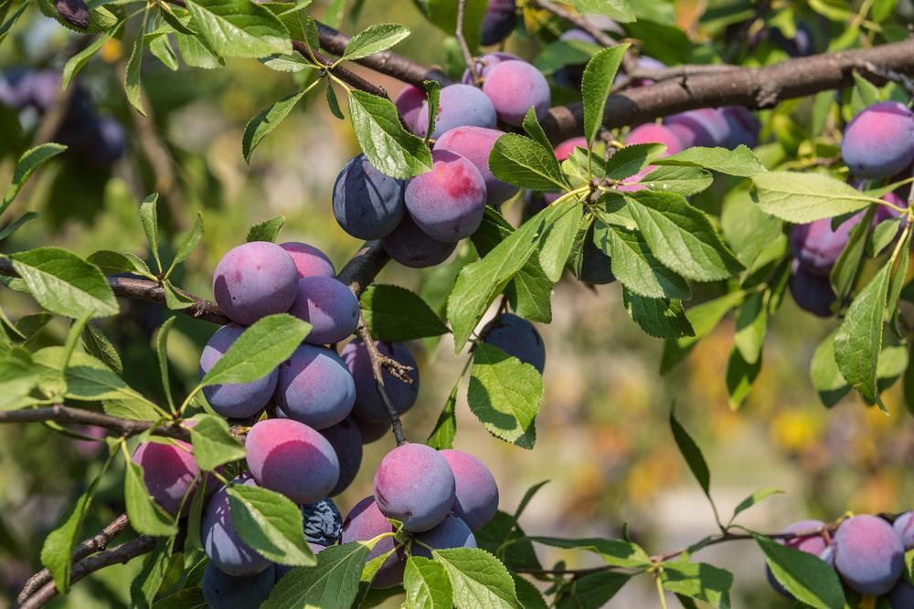 photo d'amb prune