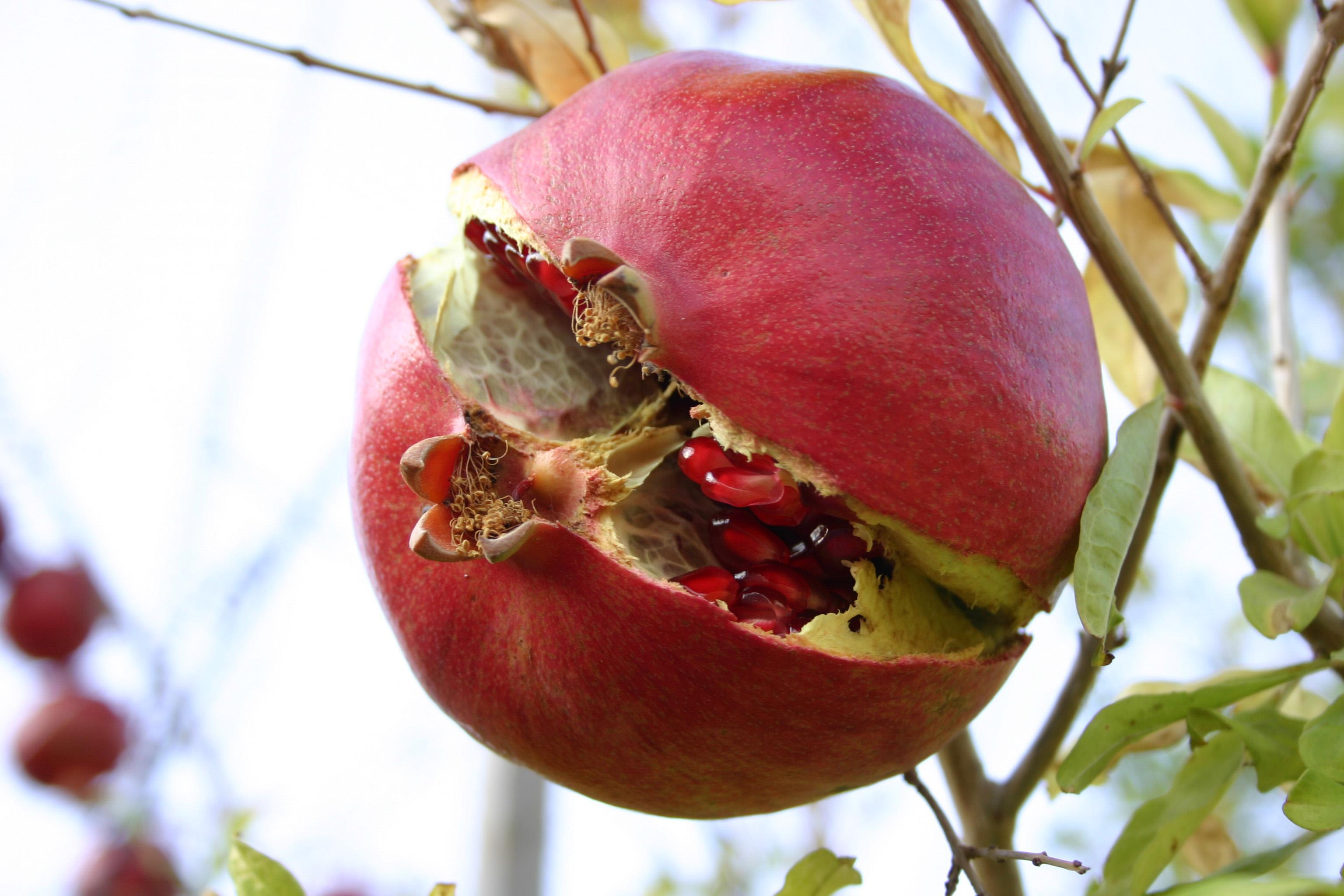pomegranate-2-1509145
