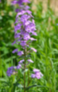 phlox-maculata-sweet-william_edited_edited_edited.jpg