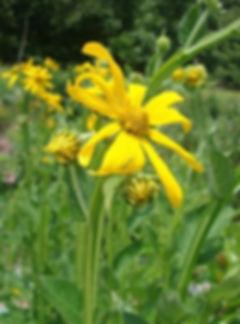 verbesina-helianthoides-yellow-crownbear