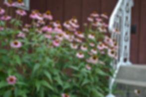 echinacea-purpurea-purple-coneflower_lan