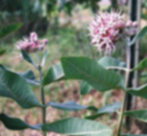 asclepias-speciosa-showy-milkweed_main_4
