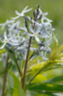 amsonia-illustris-ozark-bluestar_main.jp